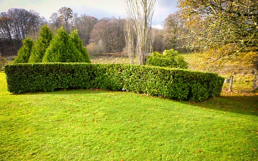 A trimmed hedge and lawn