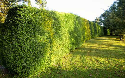 A long hedge before trimming