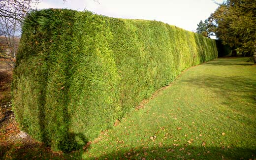 A long hedge after trimming