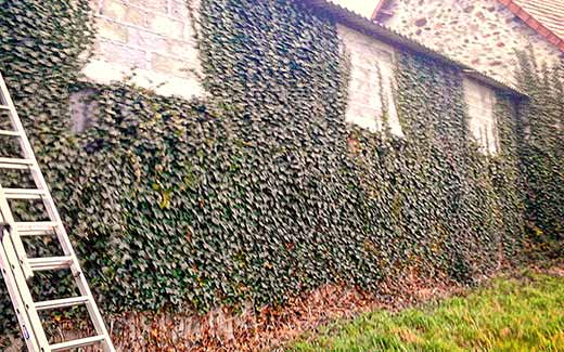 Before clearing Ivy
