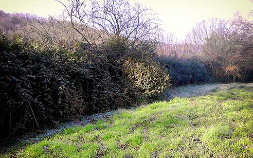A long hedge before cutting