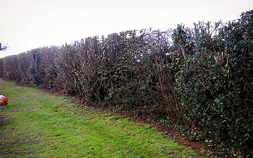 Hedge after cutting
