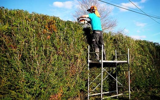 On the scaffold tower hedge trimming